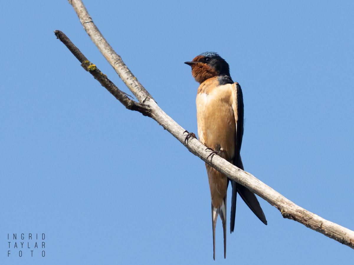Barn Swallow Perched Straight