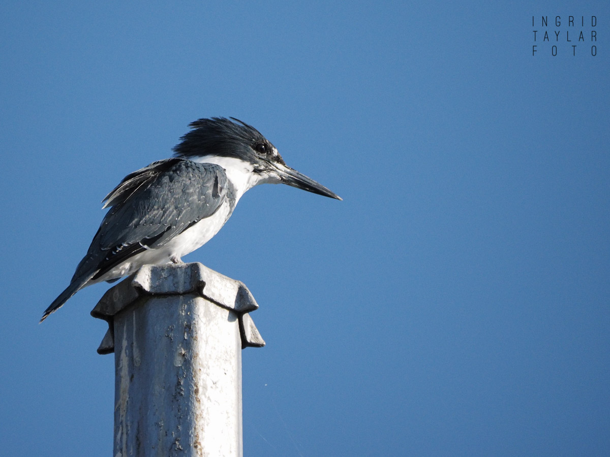 Belted Kingfisher Perched at Ballard Locks
