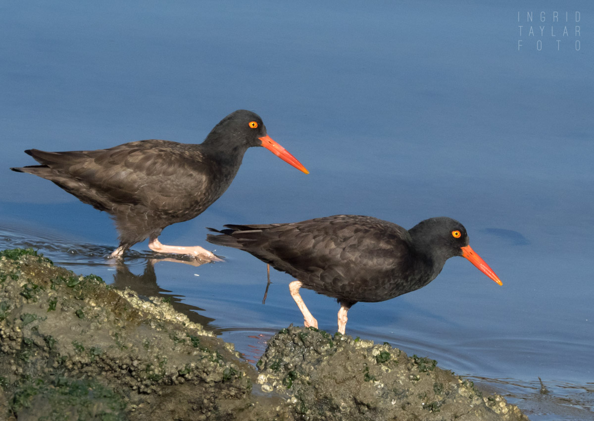 Black Oystercatcher Pair on the Shoreline