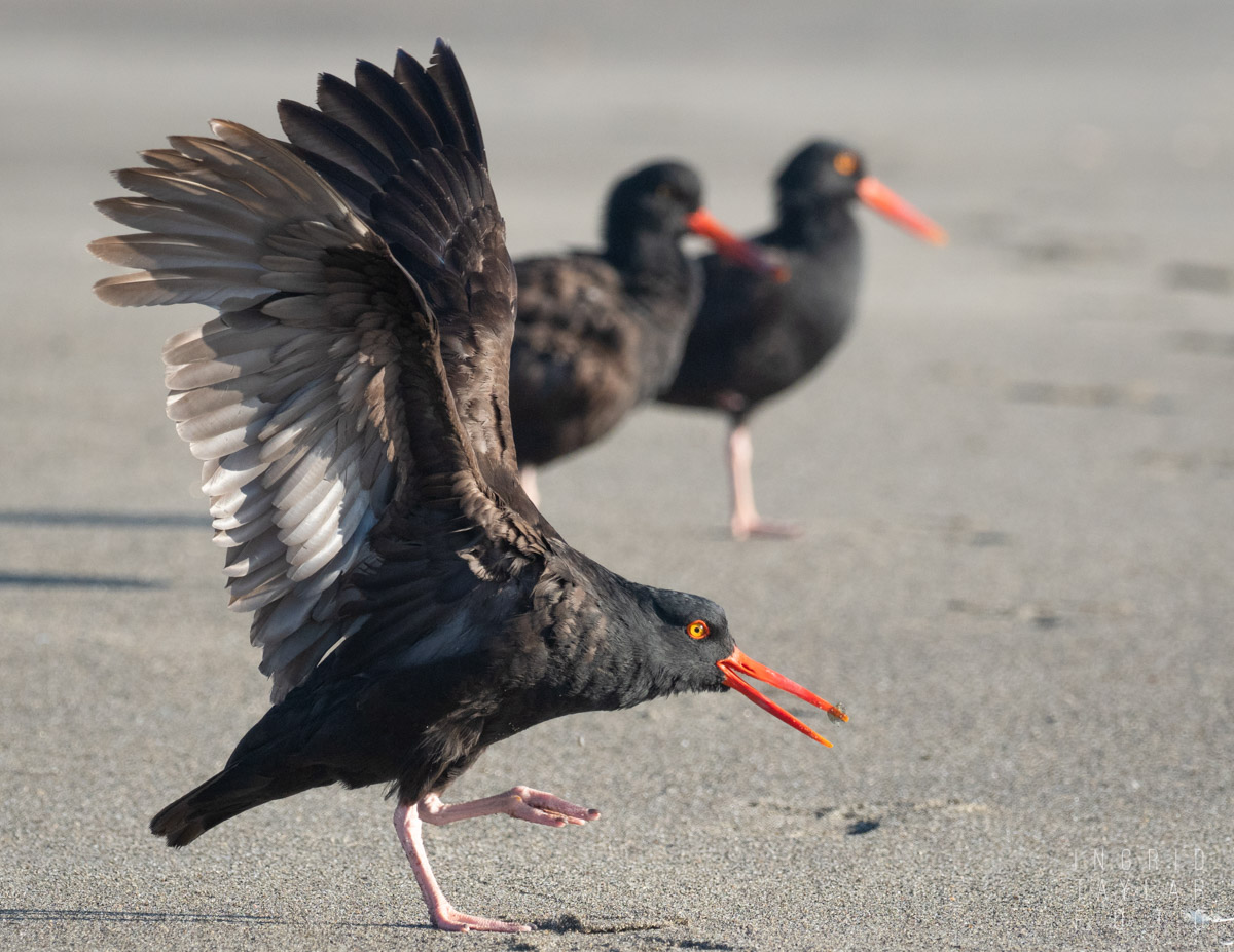 Black Oystercatcher Stretch