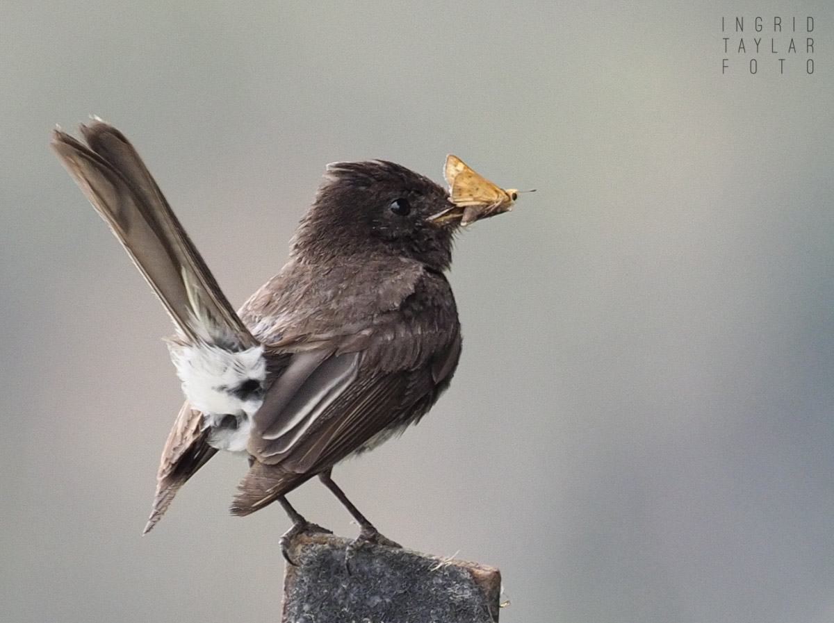 Black Phoebe with Moth
