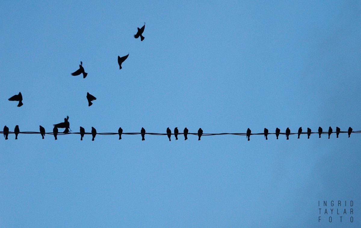 Blackbird Silhouettes on a Wire