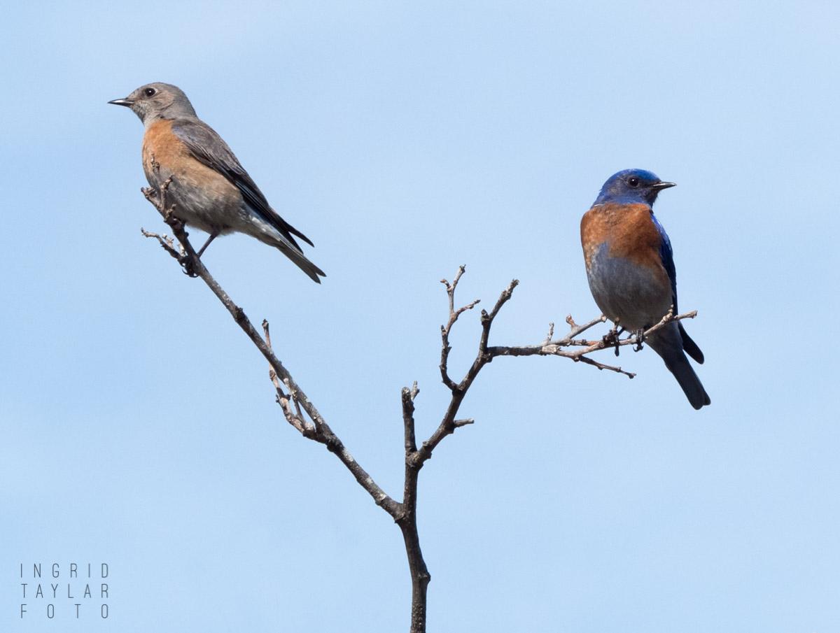 Blue Birds on a Split Branch