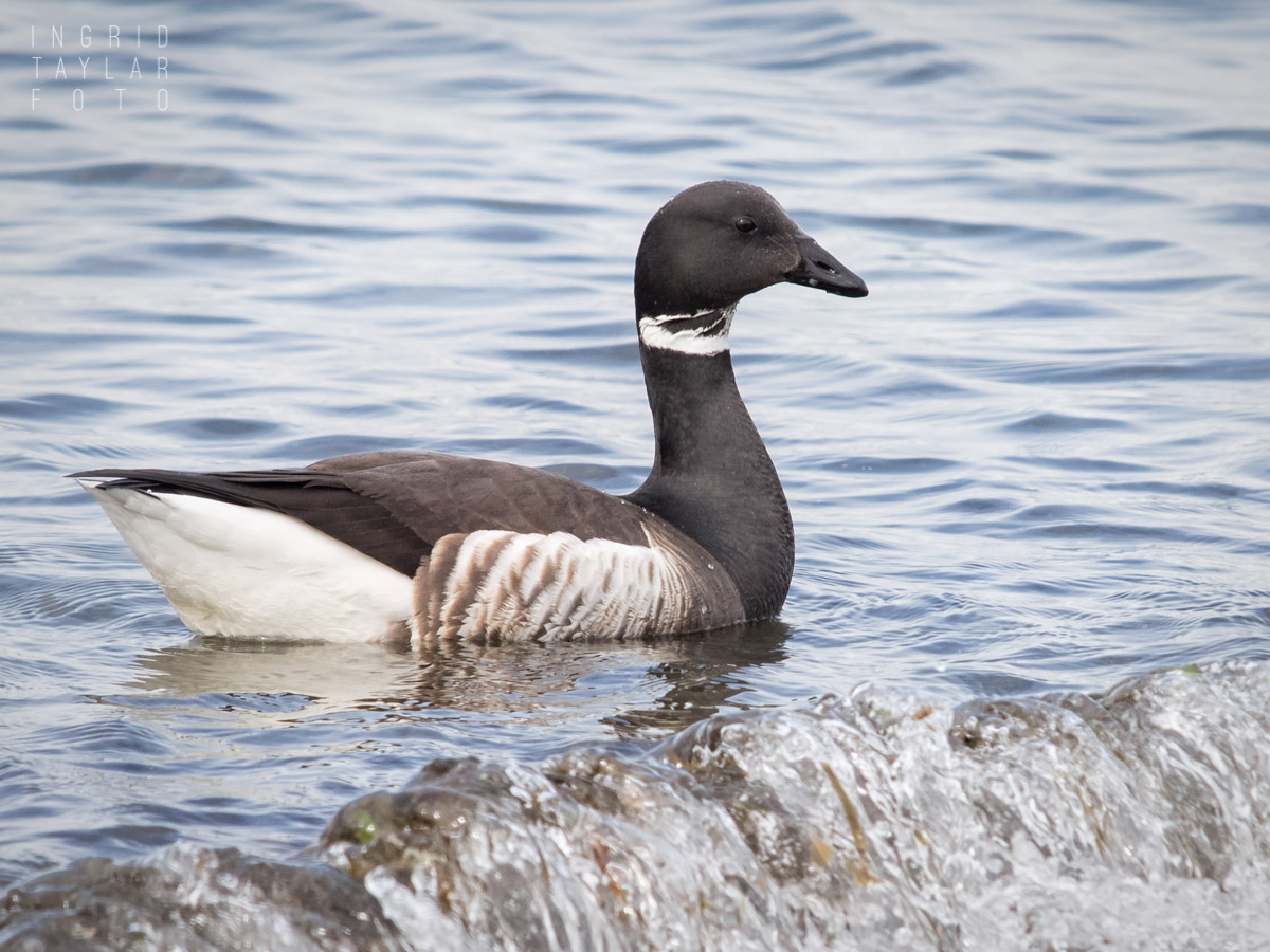 Brant Goose at Alki Beach Seattle