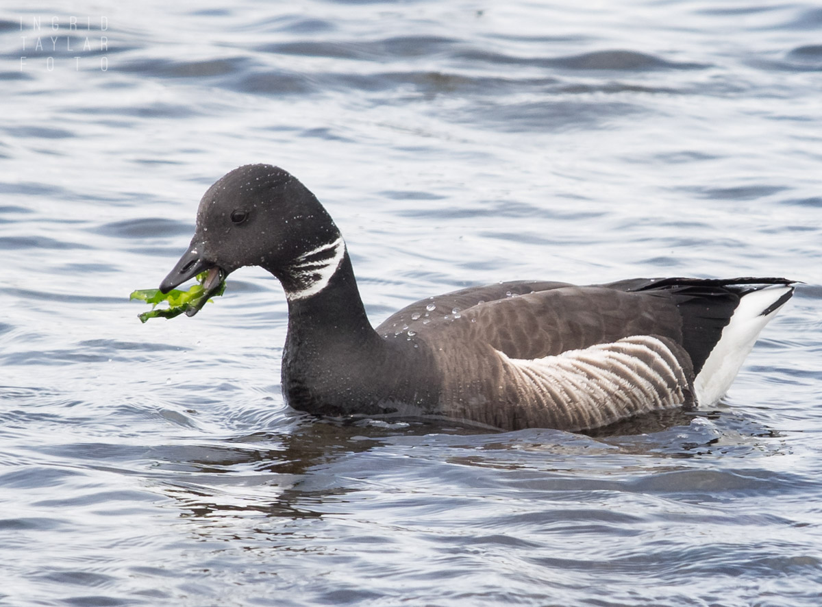 Brant Goose at Alki Seattle