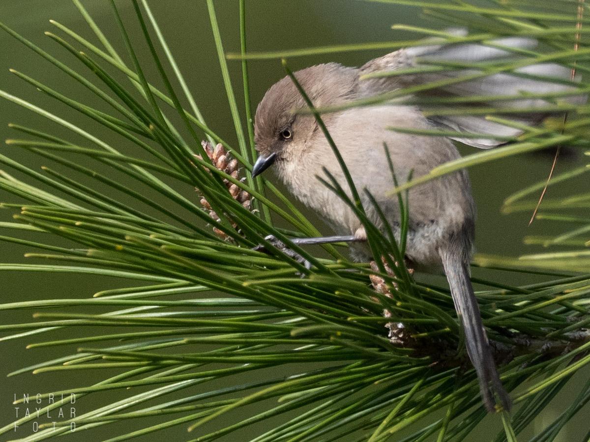 Bushtit in Fir Tree