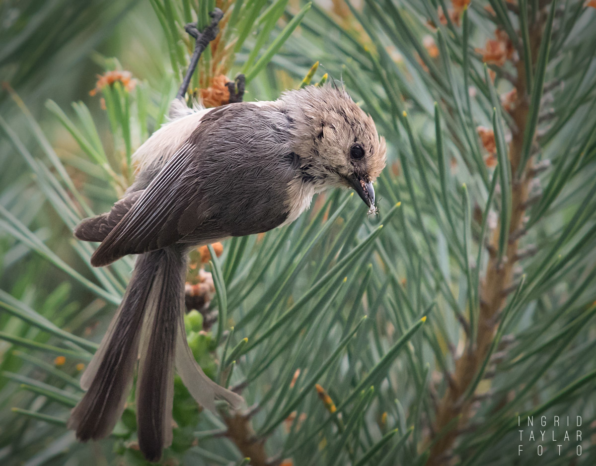 Bushtit with Insect