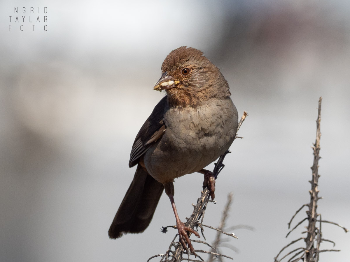 California Towhee on a Stem