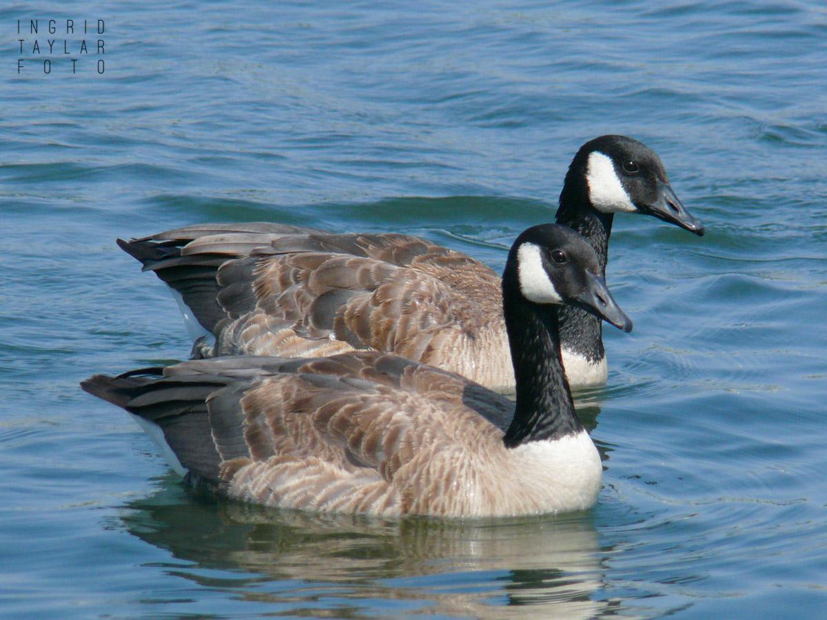 Canada Goose Duo