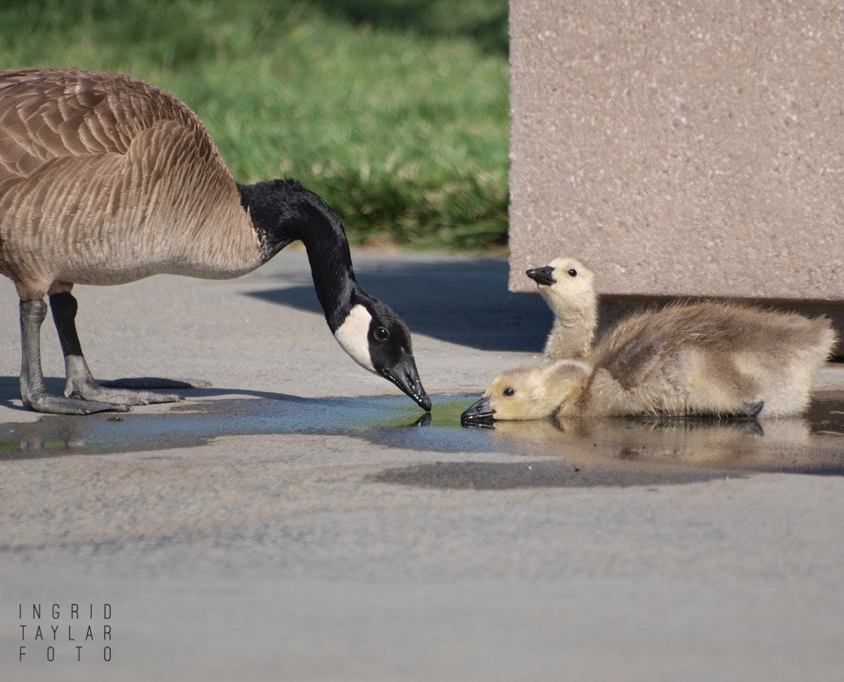 Canada Goose and Goslings on a Hot Day