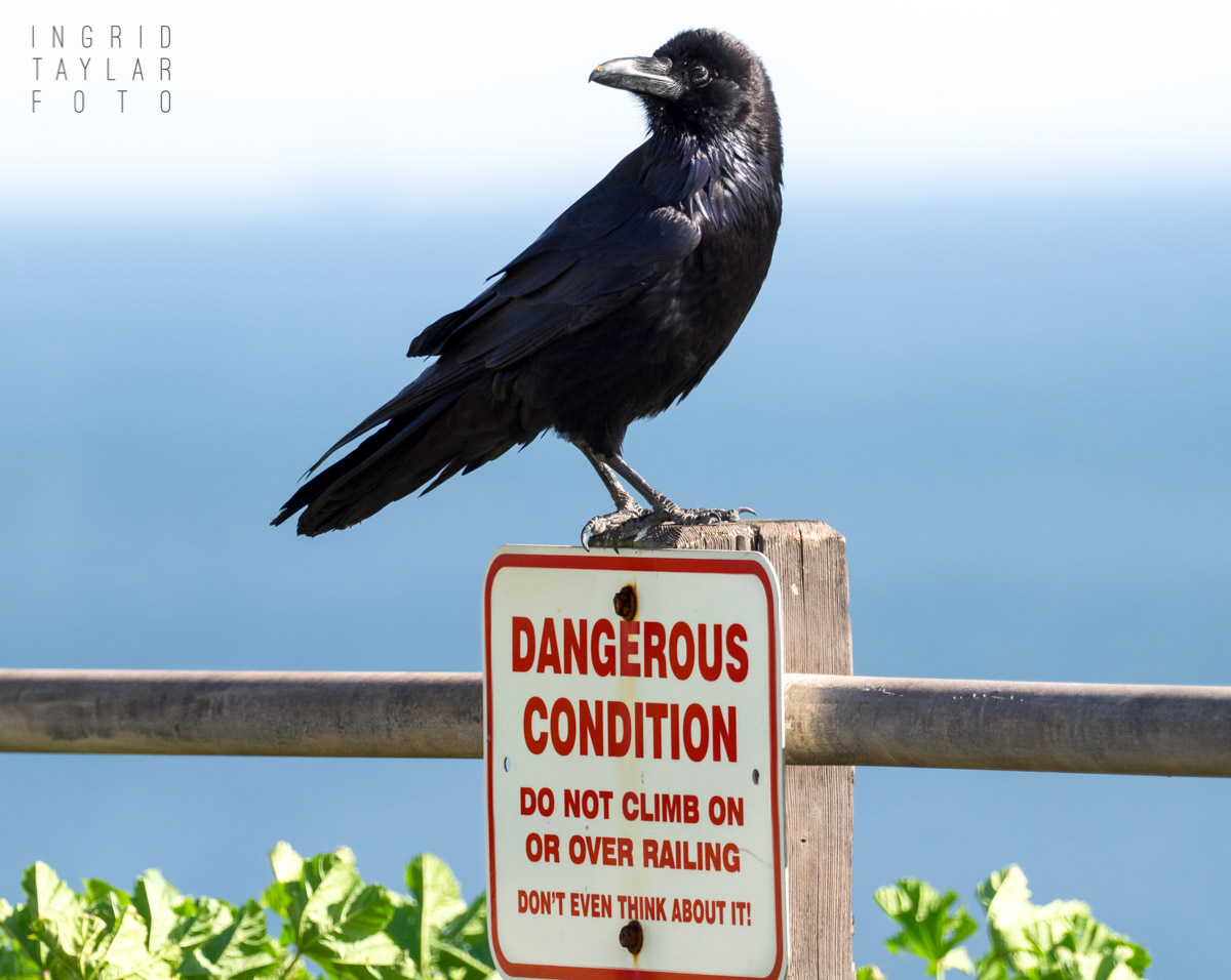 Common Raven Perched on Sign