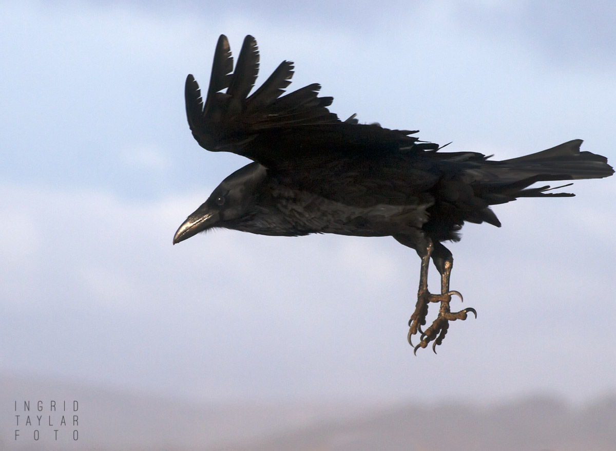 Common Raven in Flight at Ocean Beach