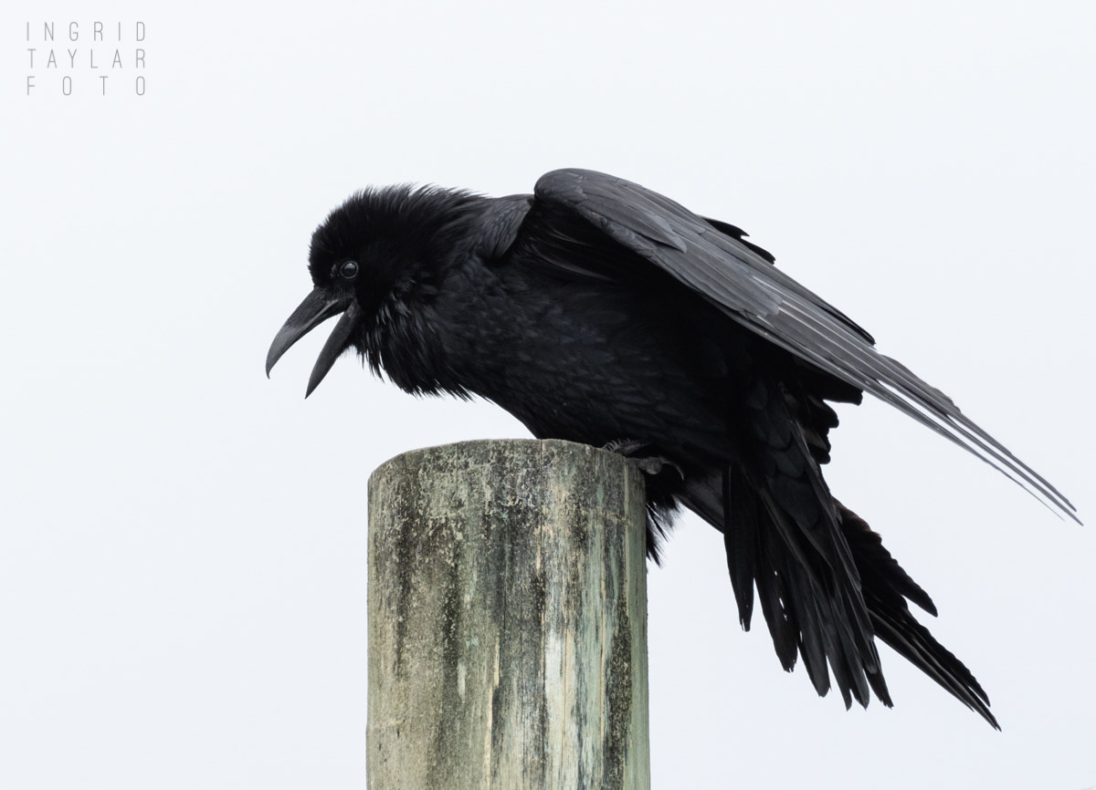 Common Raven in Mendocino Overcast