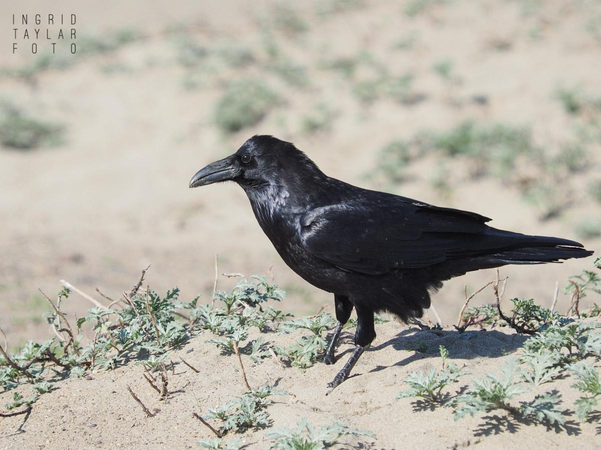 Common Raven in the Dunes