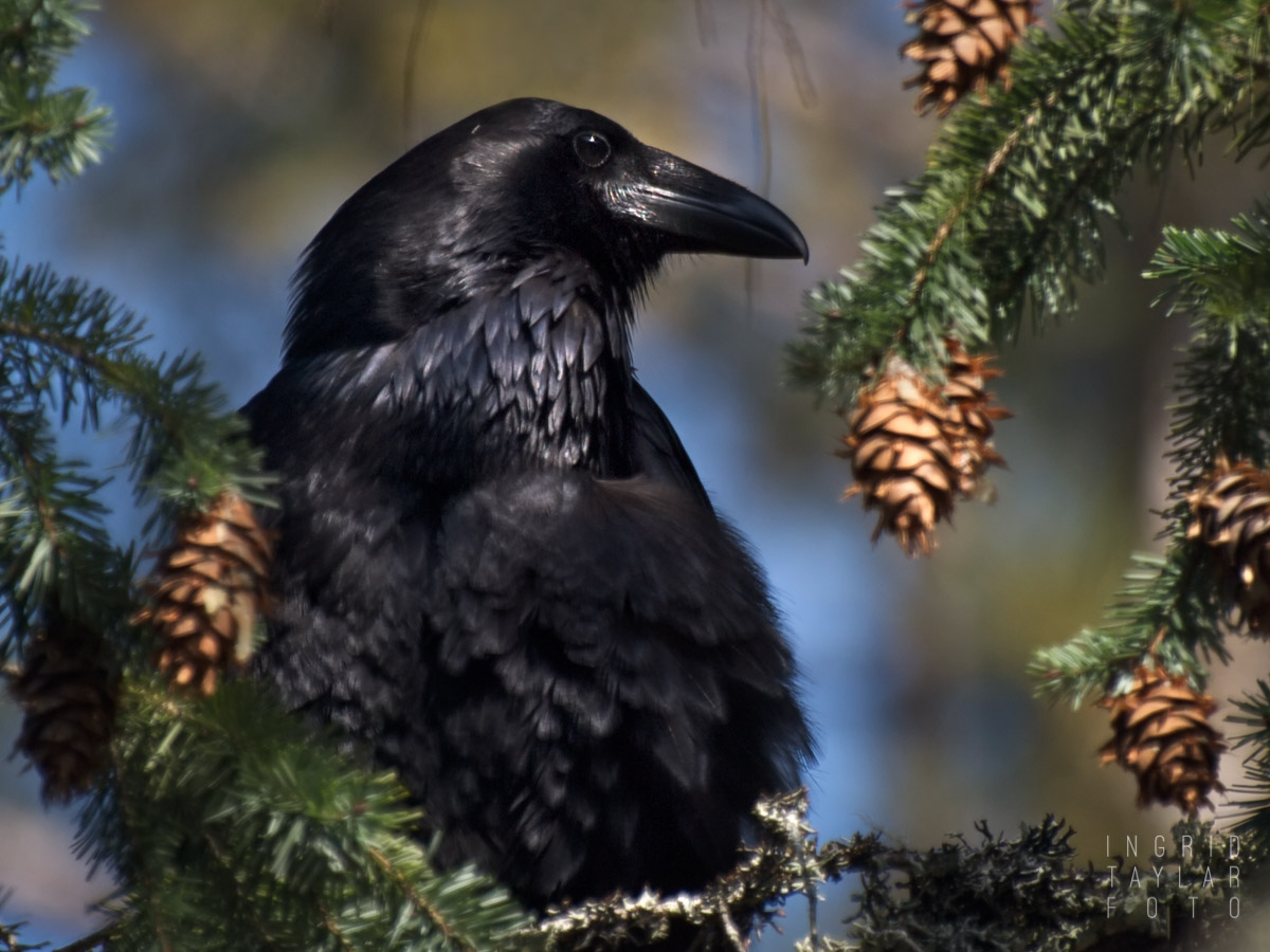 Common Raven on Mt. Tamalpais