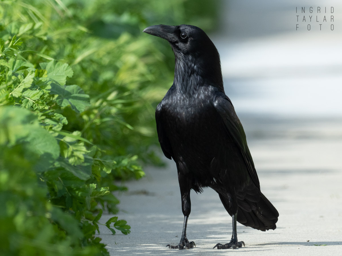 Common Raven on Walkway_