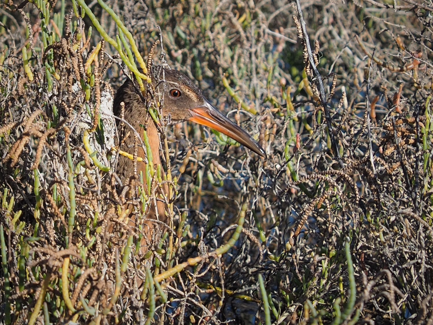 Ridgway's Rail Hiding in Reeds