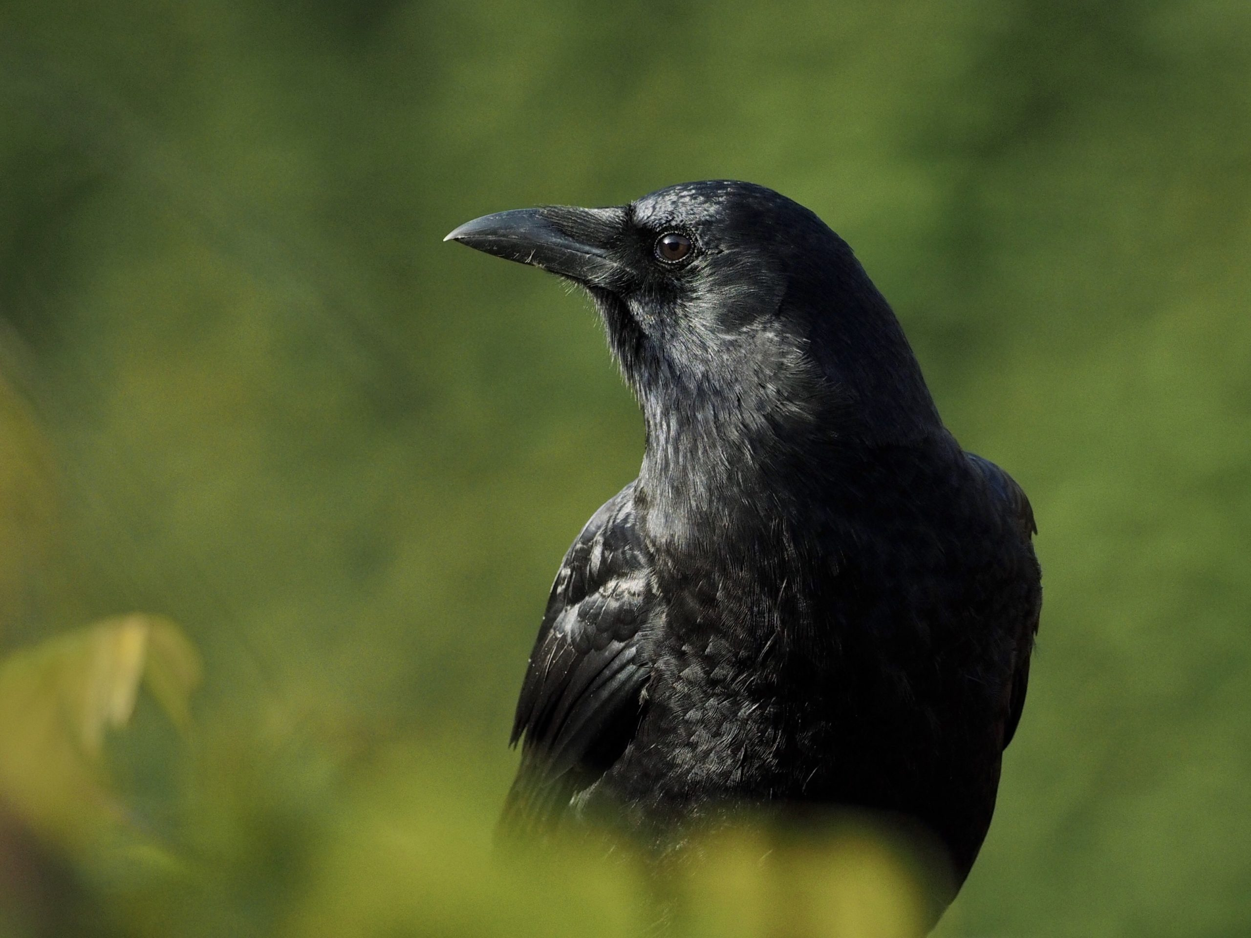 Northwestern Crow Profile