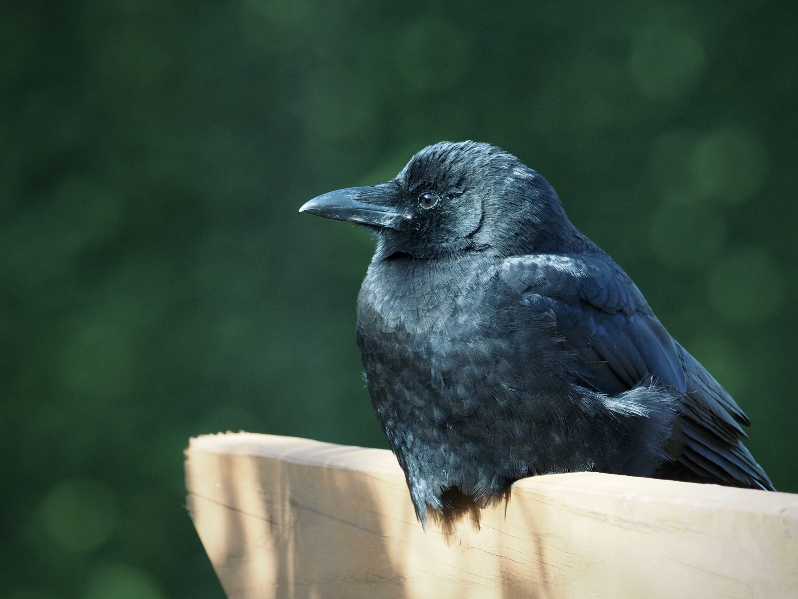 American Crow at Rest