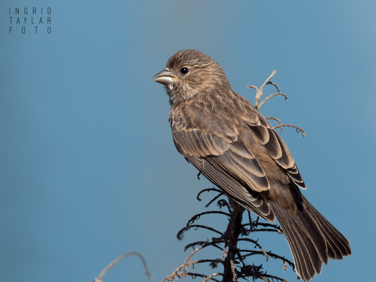Female House Finch on Dried Stem