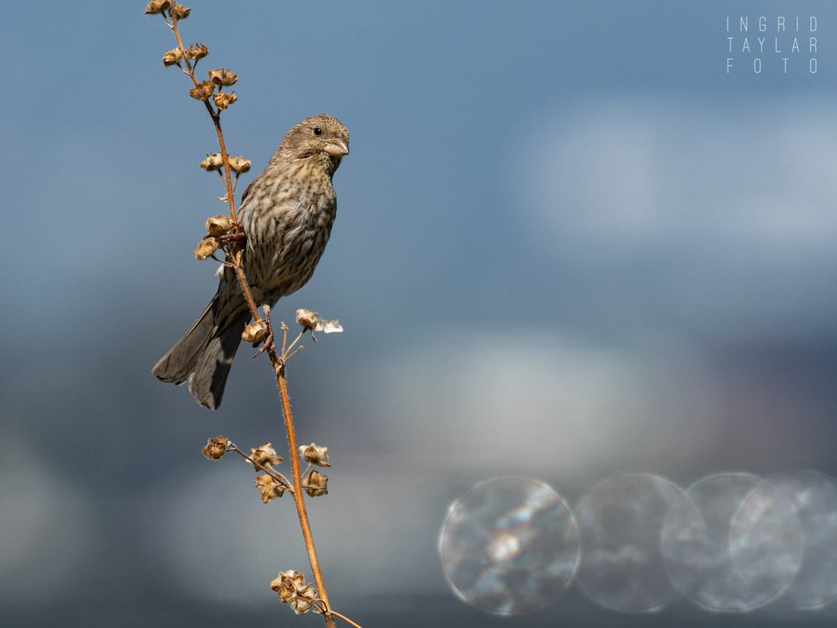 Female House Finch with Orbs