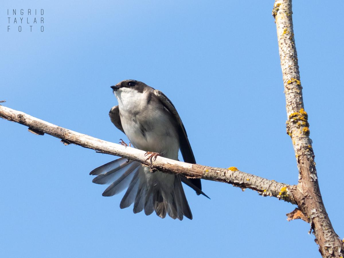 Female Tree Swallow Stretch