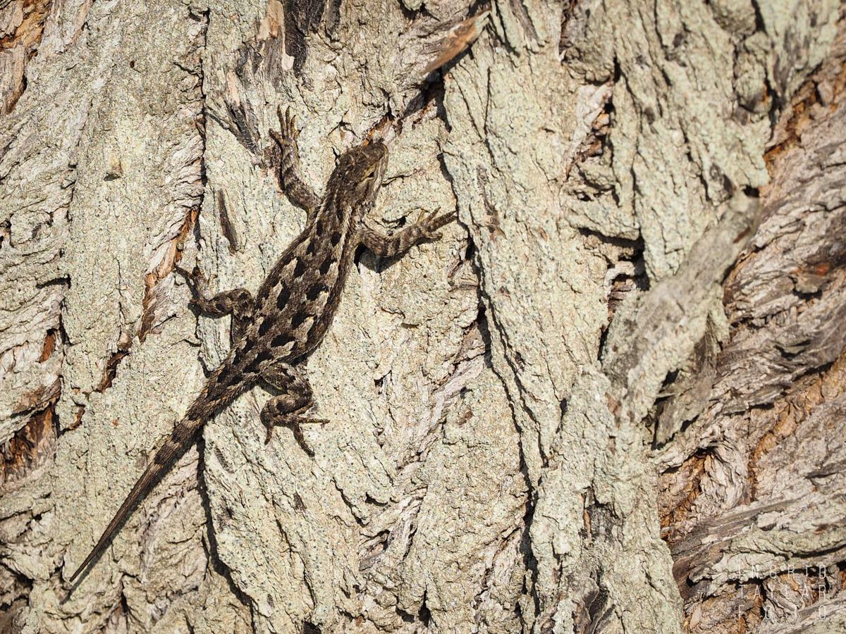 Fence Lizard Camo on Tree
