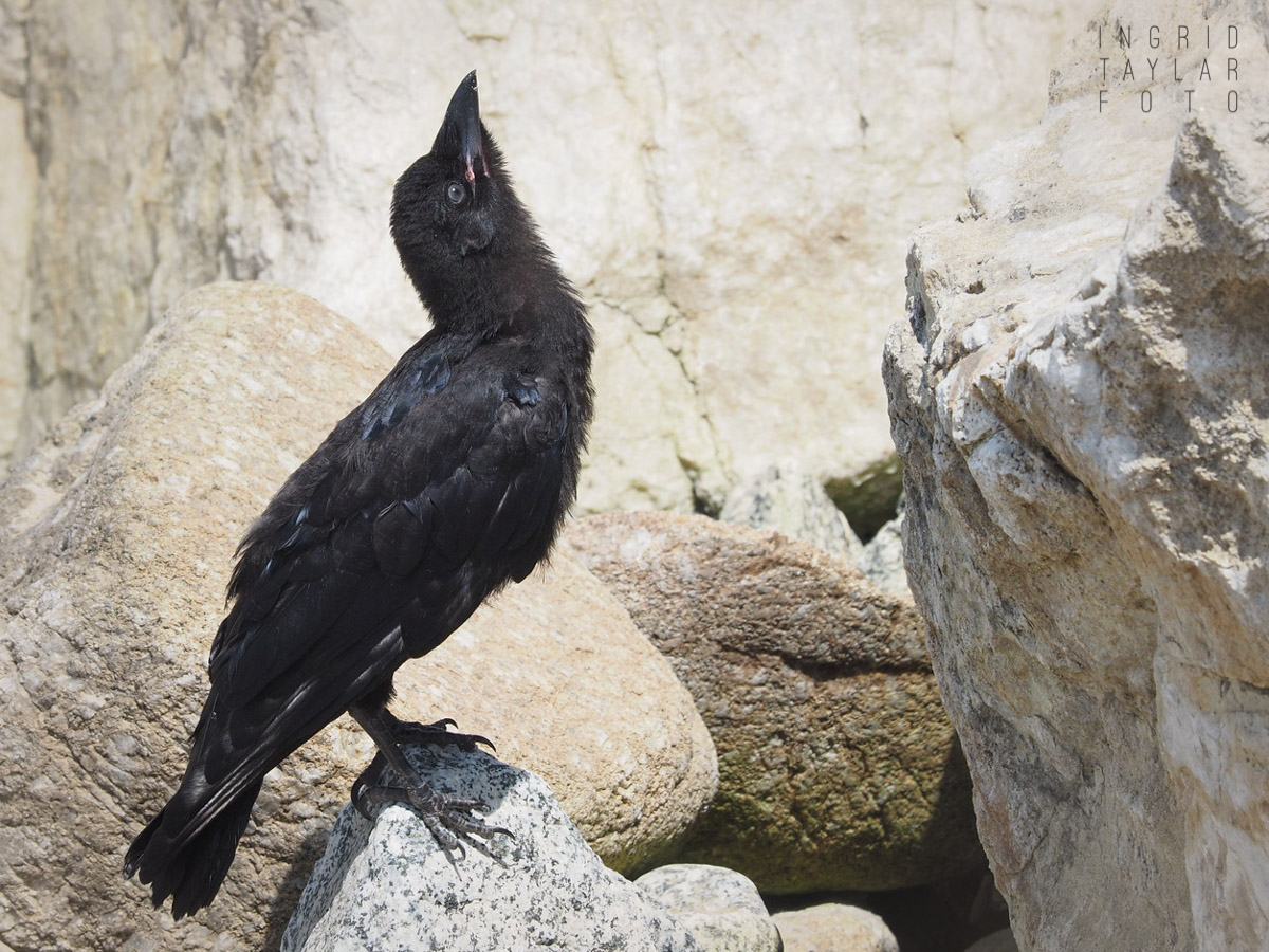 Fledgling Crow on Beach Rocks