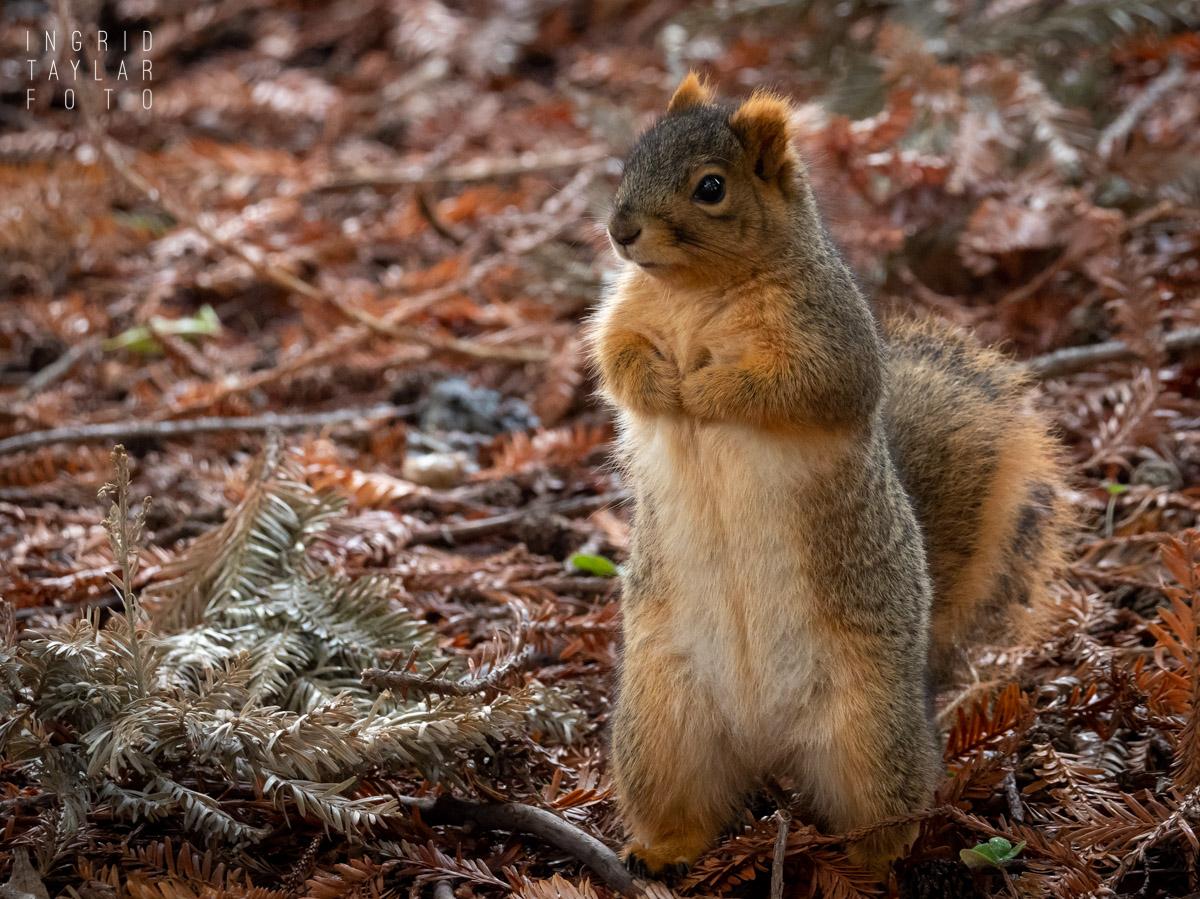 Fox Squirrel in Butler Pose