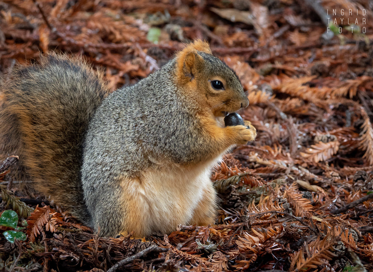 Fox Squirrel with Wild Food