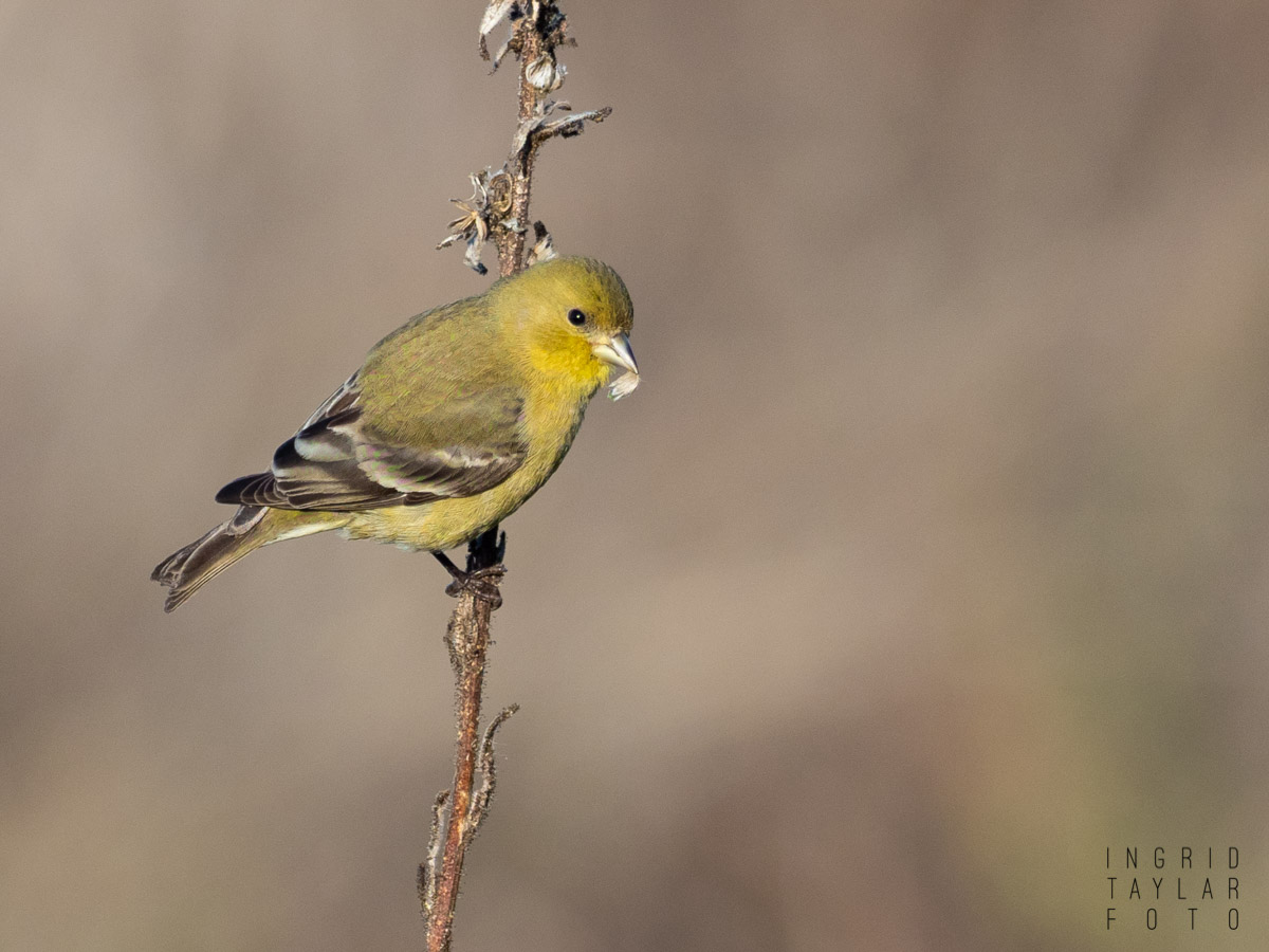 Goldfinch Eating Seed