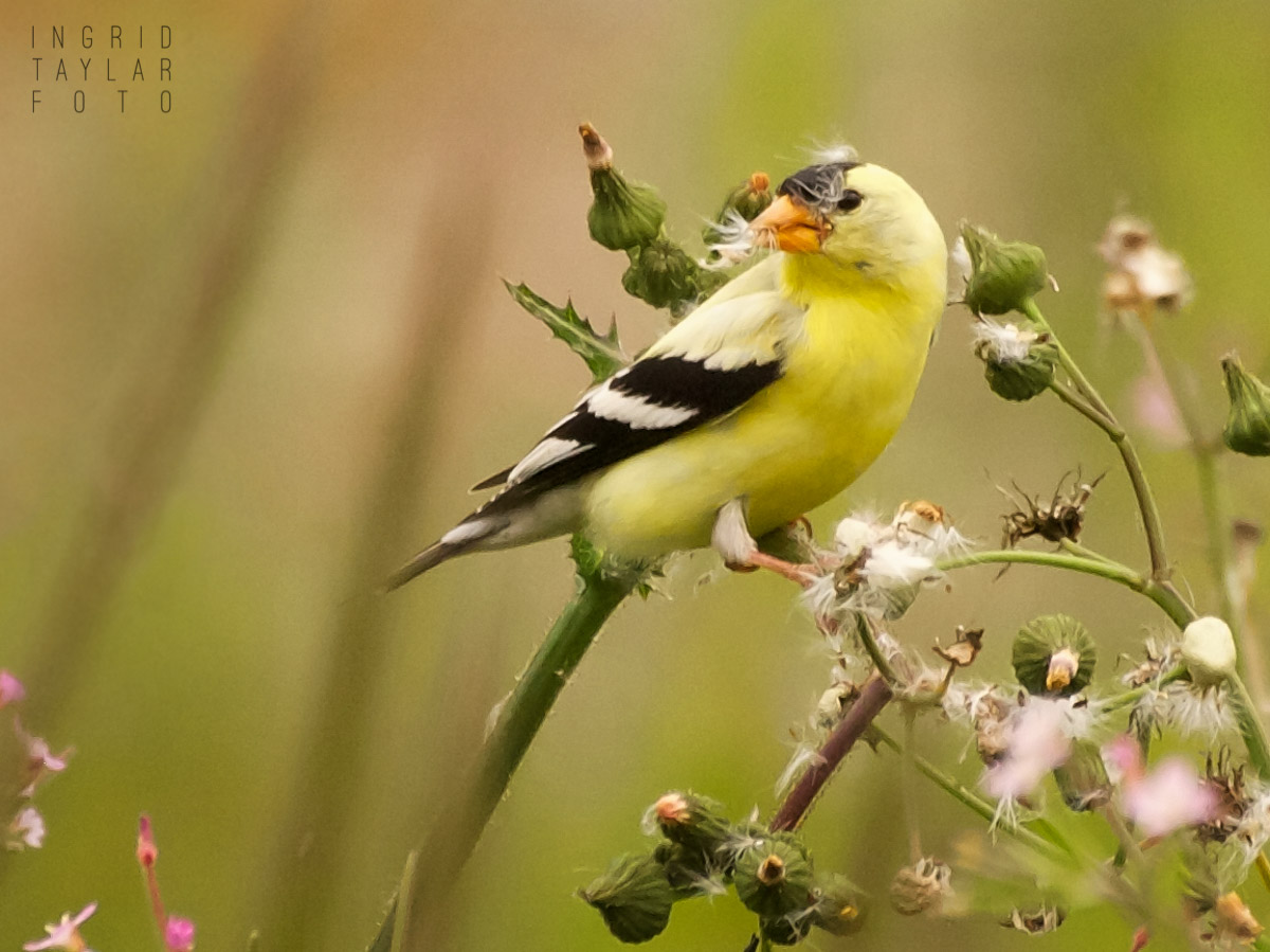 Goldfinch Eating Seeds