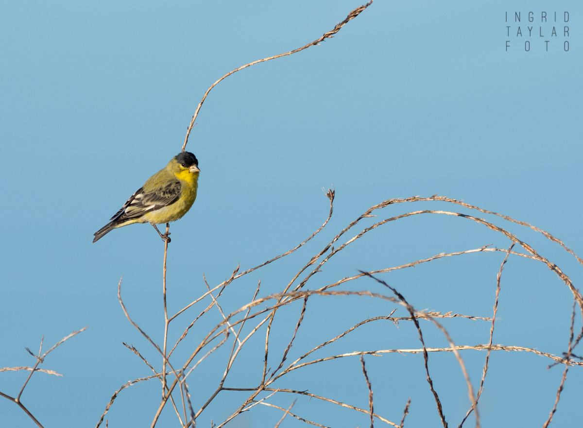 Goldfinch in Branch Maze