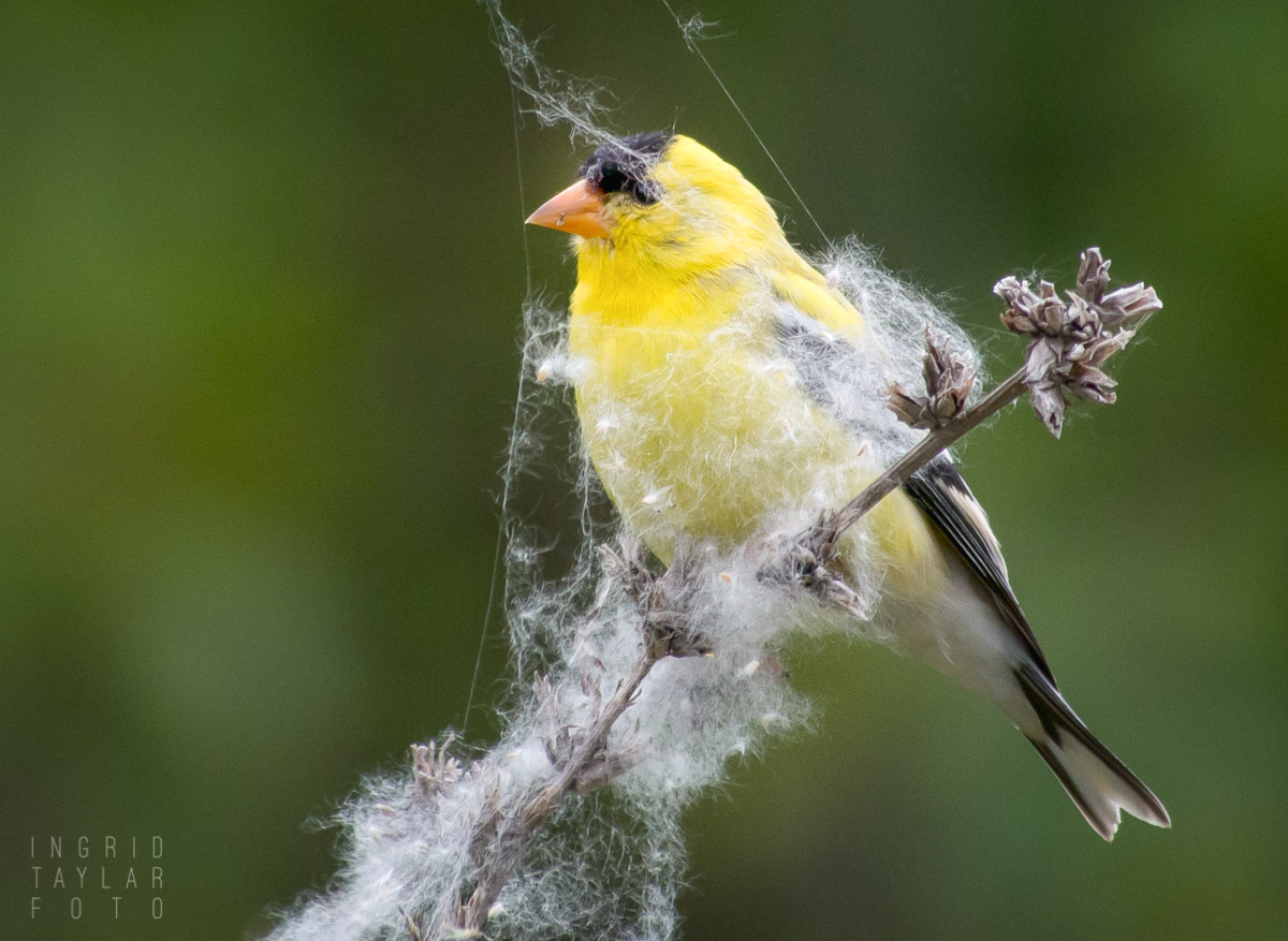 Goldfinch in Seed Fluff
