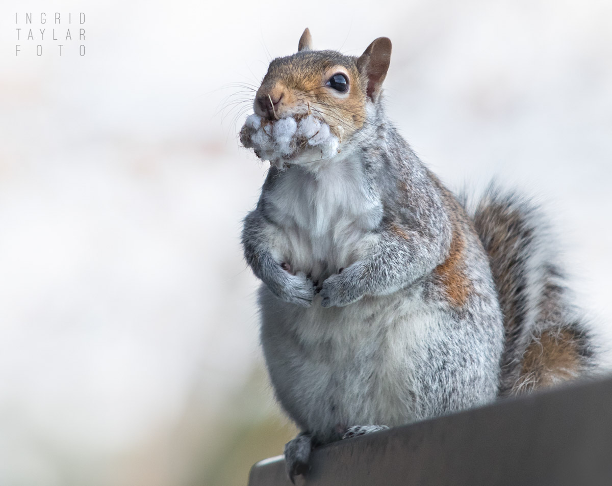 Gray Squirrel with Nesting Material