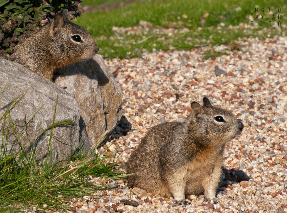 Ground Squirrel Duo