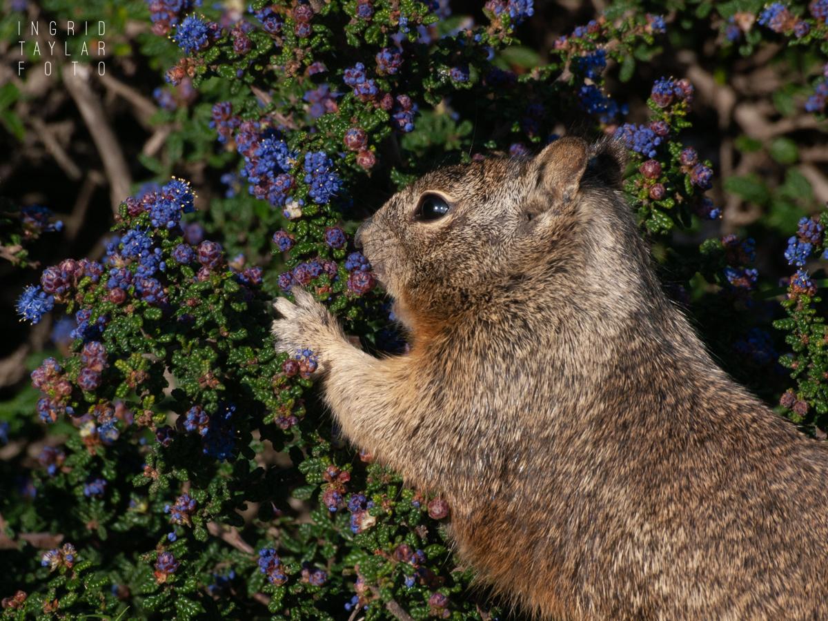 Ground Squirrel Foraging in Shrub