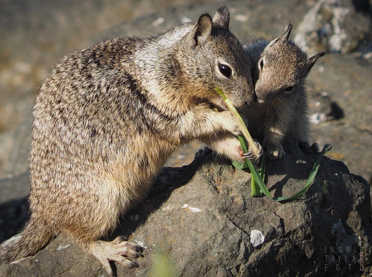 Ground Squirrel Parent Feeding Baby