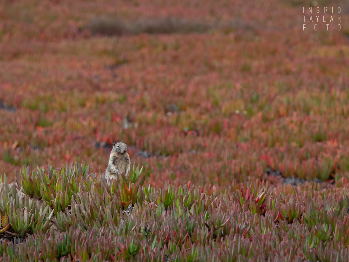 Ground Squirrel in Ice Plant