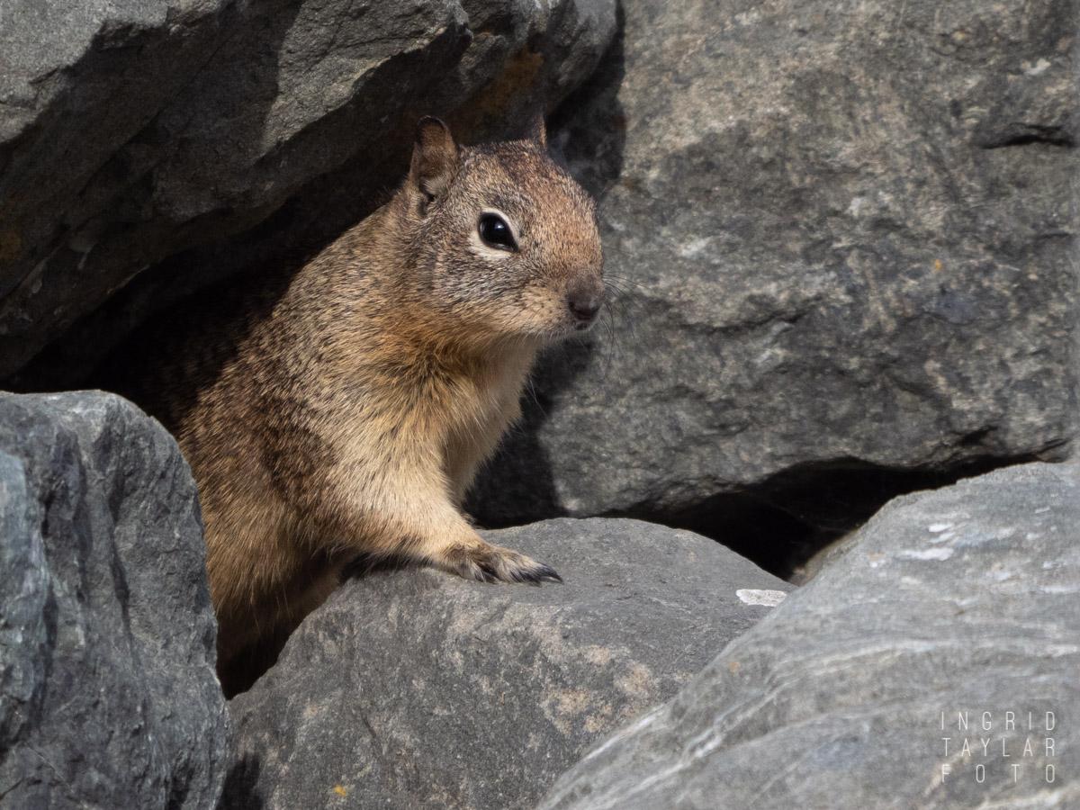 Ground Squirrel in Rockery