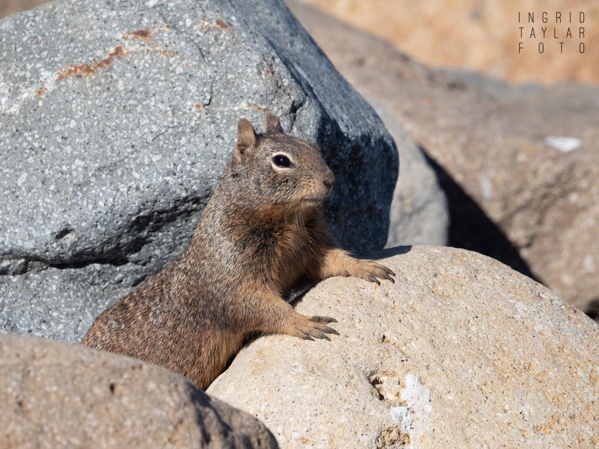 Ground Squirrel in Rocks