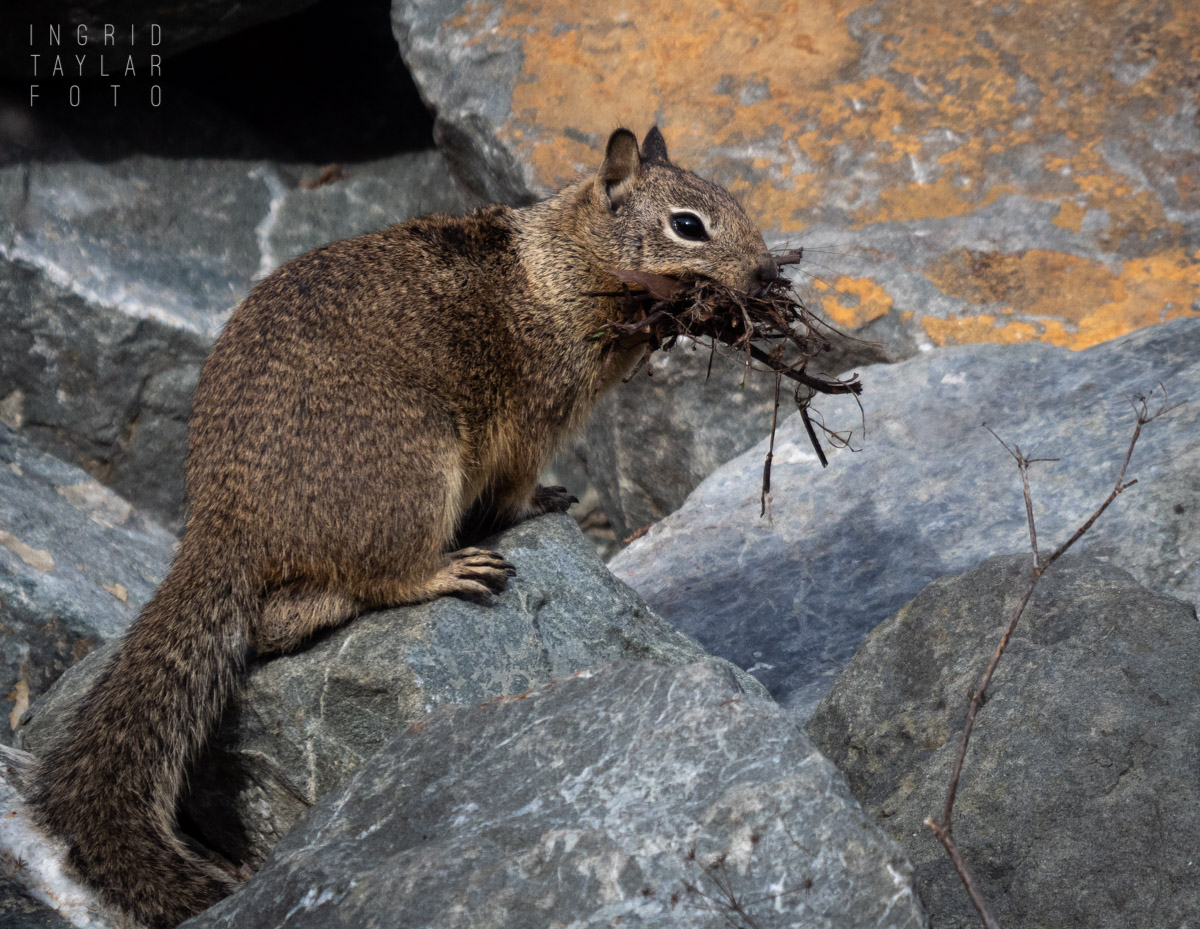 Ground Squirrel with Nesting Material