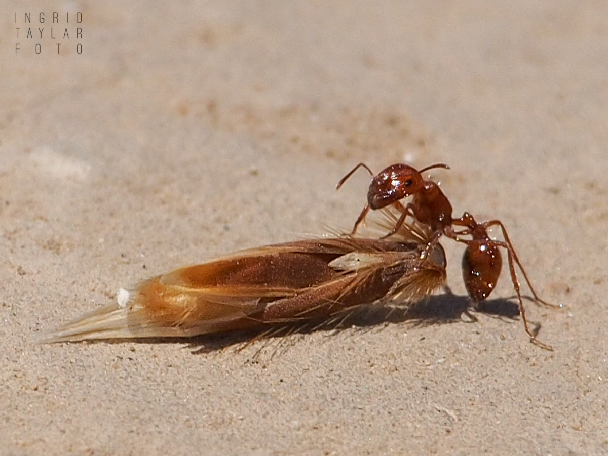Harvester Ant with Cargo
