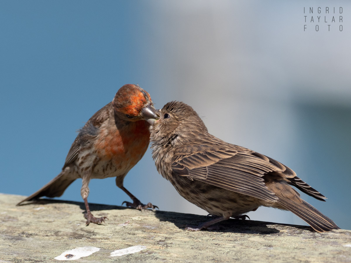 House Finch Fledgling_