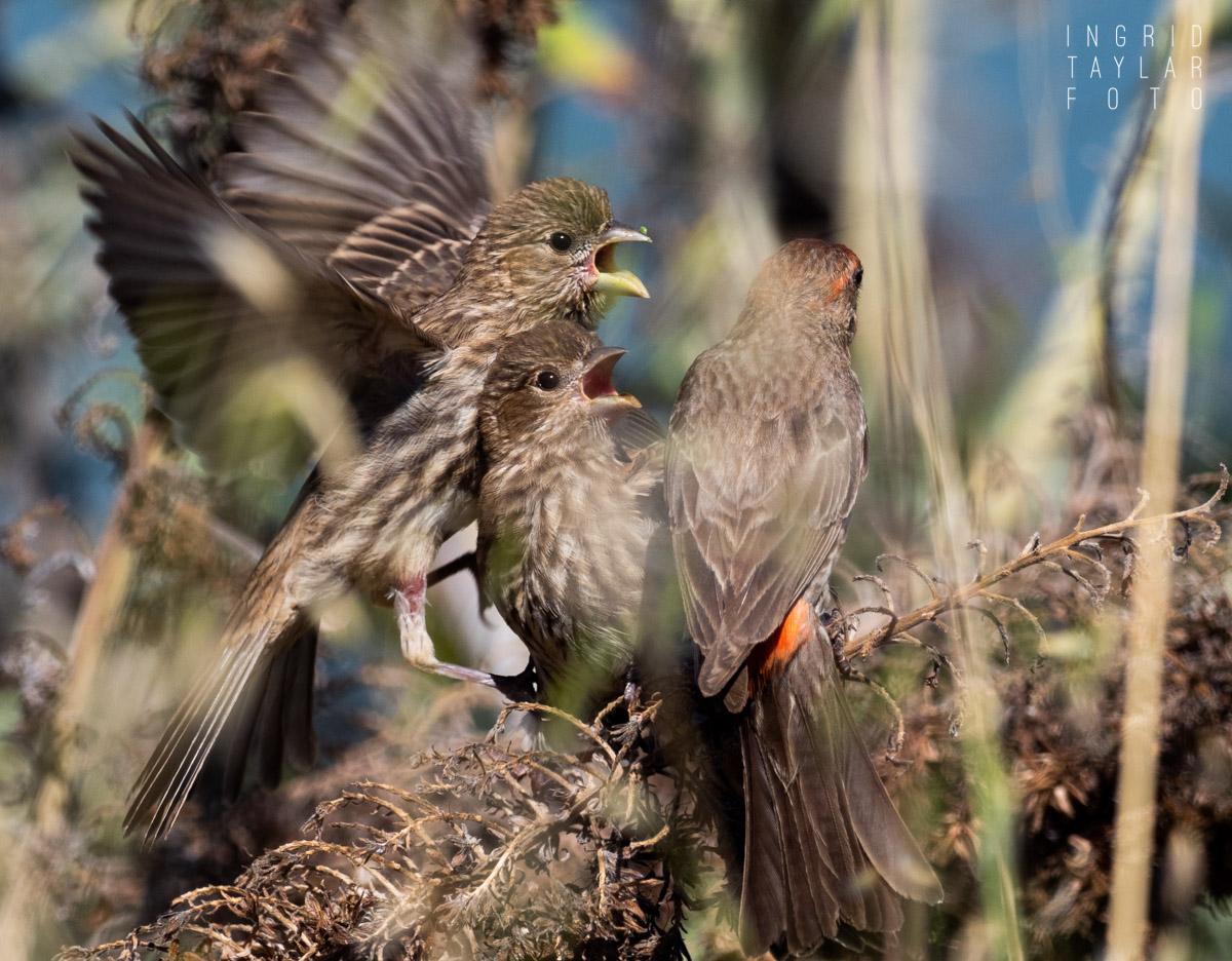 House Finch Fledglings Getting Fed