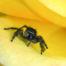 Jumping Spider on Rose Petal