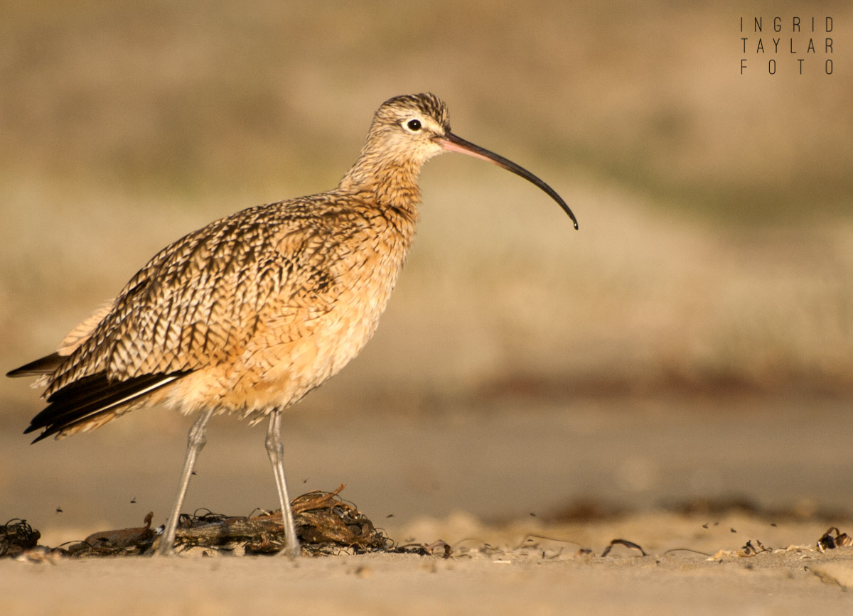 Long-Billed Curlew on Morro Strand 2