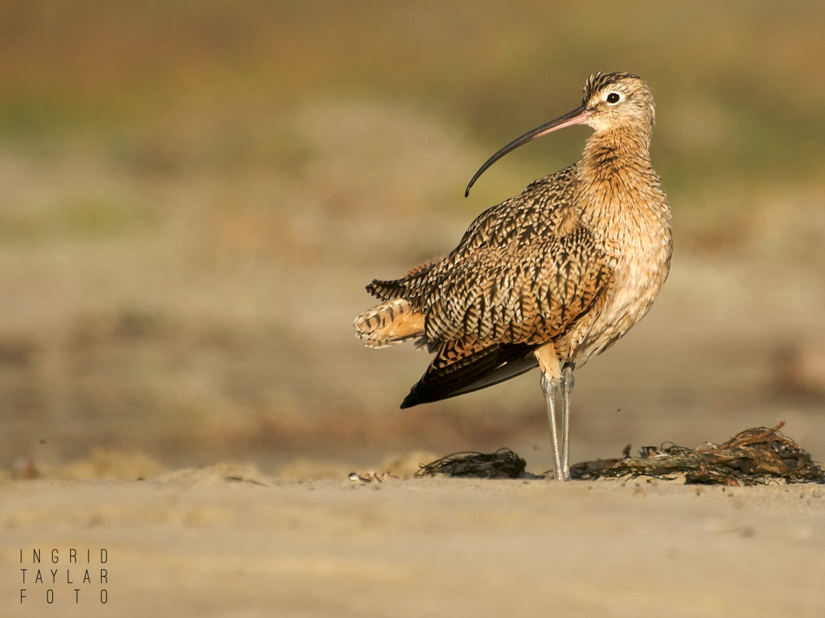 Long-Billed Curlew on Morro Strand