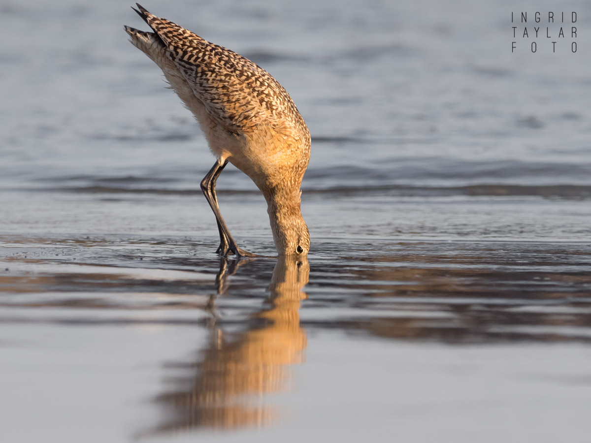 Marbled Godwit Digging in Mud