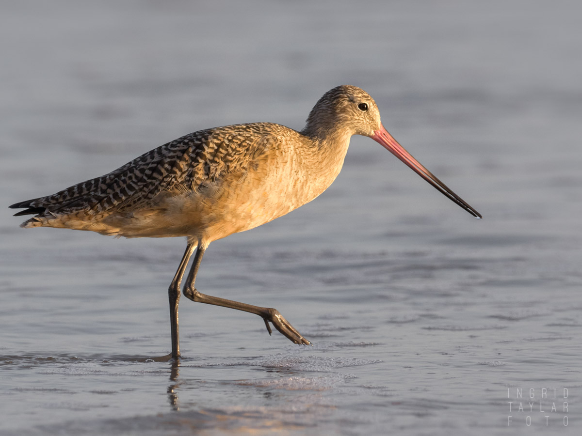 Marbled Godwit in Magic Hour Light